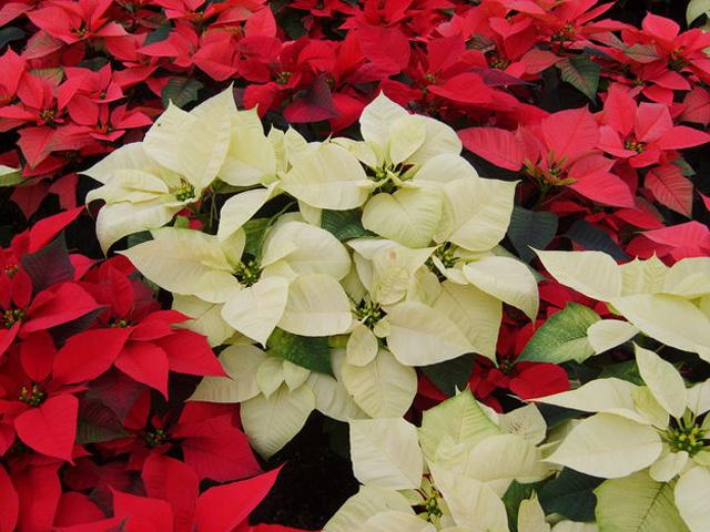 Flor De Nochebuena O Cuetlax  Chitl   Leyenda De La Flor De Nochebuena
