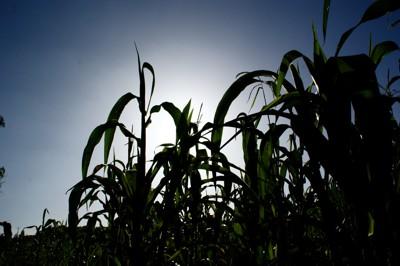 La Milpa Y La Triada Mesoamericana Como En El Tianguis