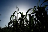 La milpa y la triadamesoamericana