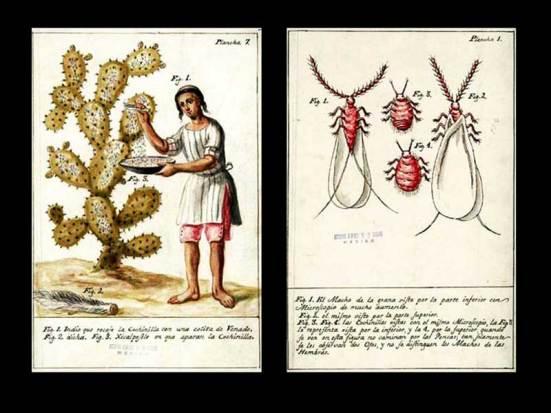 Grana cochinilla. Fuente: Ciencia UNAM