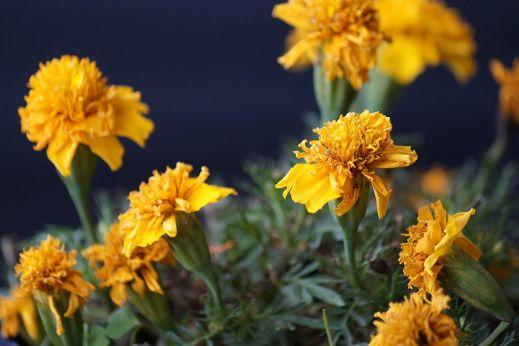 Flor de cempasúchil. Padaguan, Wikipedia.